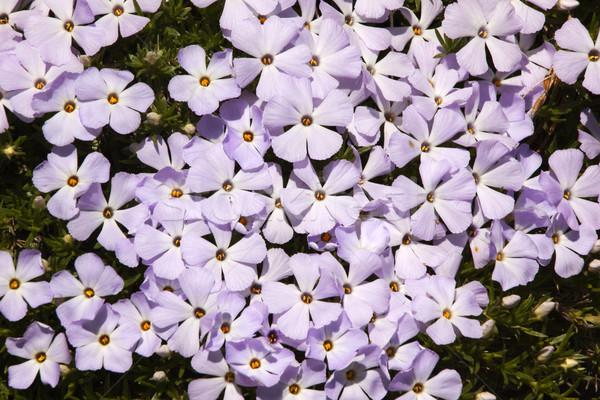 Mount Rainier Sunrise Pink Purple Mountain Phlox Wildflowers Stock photo © billperry