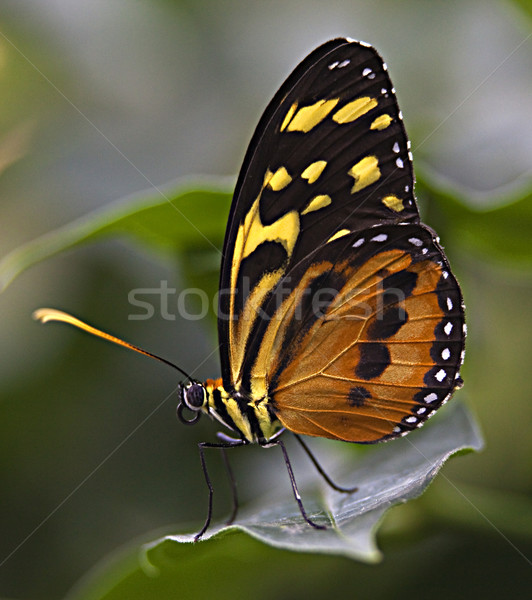 Large Tiger Monarch Butterfly  Stock photo © billperry