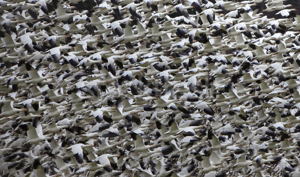 Snow Geese Abstract Thousands of Snow GeeseTaking Off and Flying Stock photo © billperry