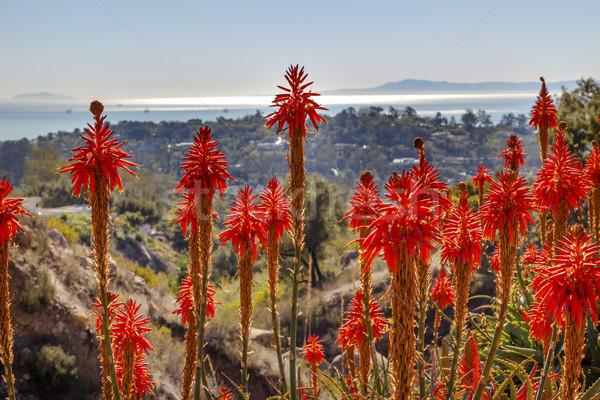 Orange Aloe Cactus Morning Pacific Ocean Landscape Channel Islan Stock photo © billperry