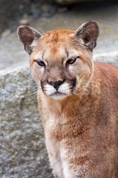 Puma puma puma bakıyor yırtıcı hayvan yüz Stok fotoğraf © billperry