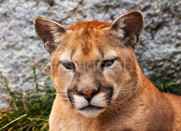 Mountain Lion Closeup Head Cougar Looking at You Puma Concolor Stock photo © billperry