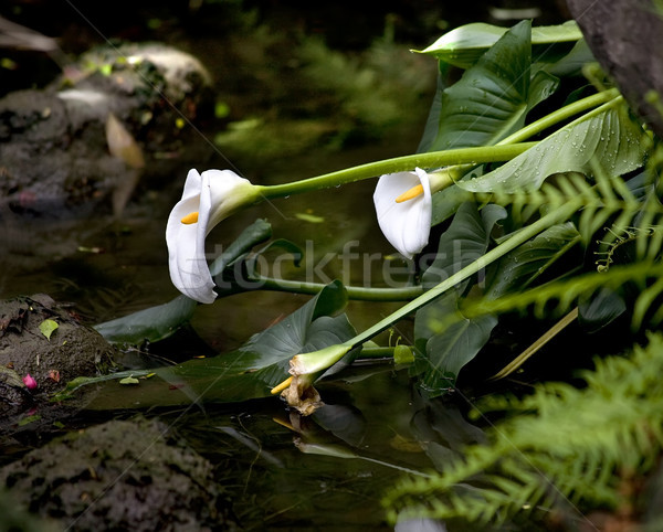 White Calla Lilies Garden Water Sichuan China Stock photo © billperry