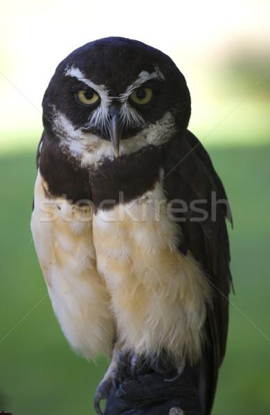 Gufo guardando folla occhi occhi Foto d'archivio © billperry