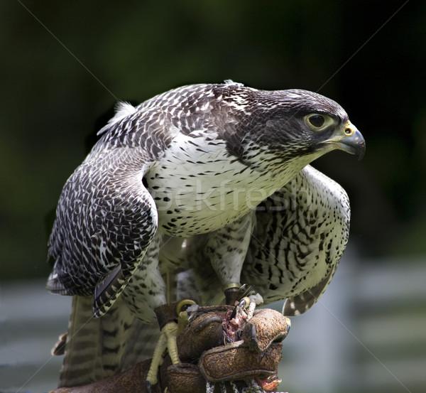 Gyr Falcon Falco Rusticolus Stock photo © billperry