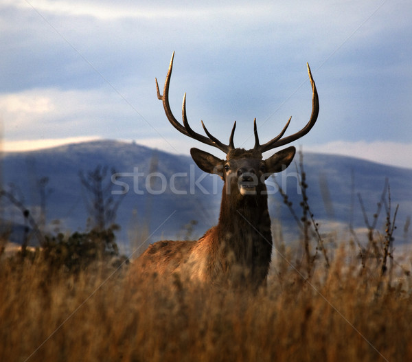 Large Male Elk with Large Rack National Bison Range Charlo Monta Stock photo © billperry