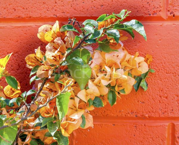 Pomarańczowy ściany Meksyk Meksyk kwiaty podróży Zdjęcia stock © billperry