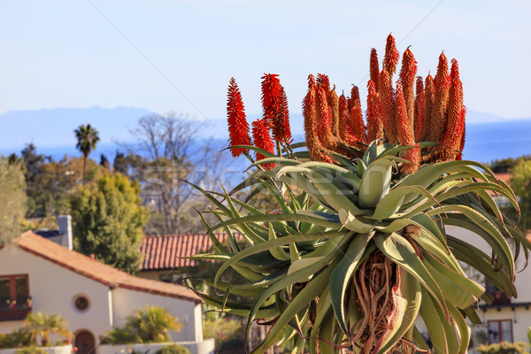 Giant Tree Aloe Barberae Pacific Ocean Mission Santa Barbara Cal Stock photo © billperry
