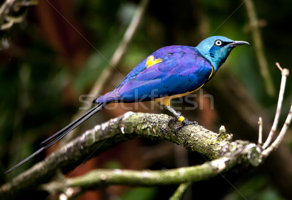 Blue Purple Golden Yellow Breasted Royal Starling Bird Stock photo © billperry