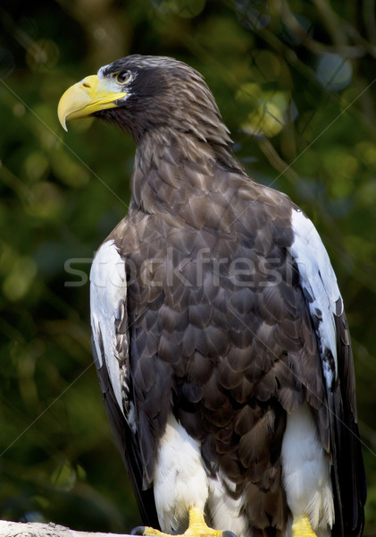 Stellar's Sea Eagle Haliaeetus Pelagicus Stock photo © billperry
