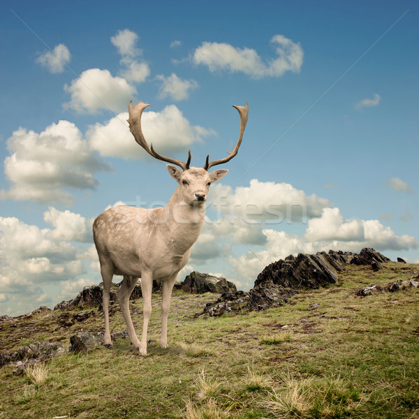 Stag Deer Stock photo © Binkski