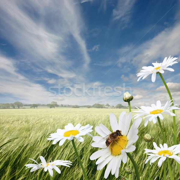 Oxeye Daisies Stock photo © Binkski