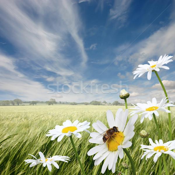 Margaridas verão paisagem mel de abelha flor nuvens Foto stock © Binkski
