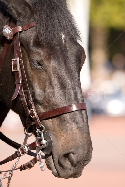 Horse portrait Stock photo © blanaru