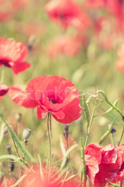 Pipacs virágok retro nyár klasszikus békés Stock fotó © blasbike