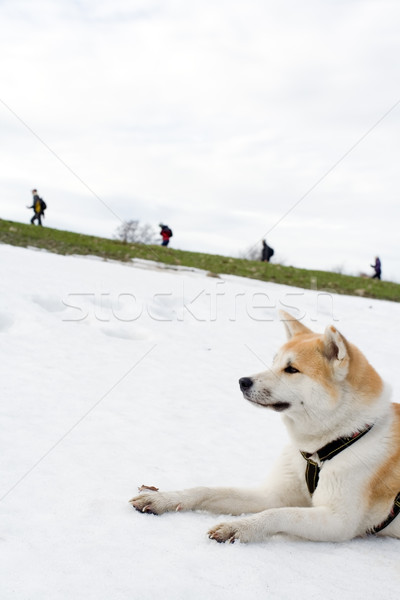 Akita dog on snow looking at hiking people Stock photo © blasbike