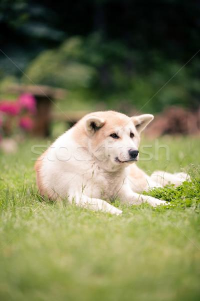 Akita Inu dog relaxing on green grass outdoors Stock photo © blasbike