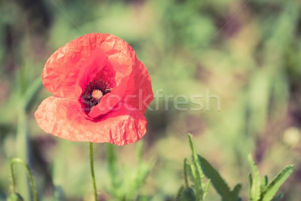 Pipacs virágok retro békés nyár klasszikus Stock fotó © blasbike