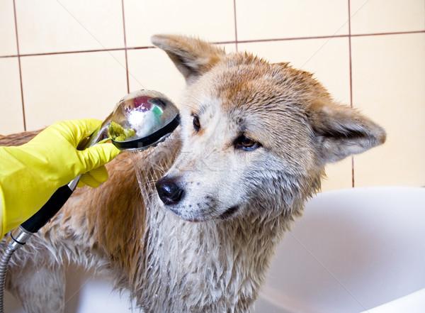 Cleaning the dog Stock photo © blasbike