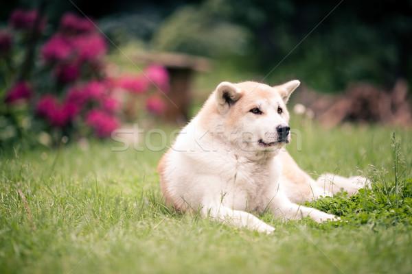 Cão relaxante grama verde ao ar livre belo japonês Foto stock © blasbike