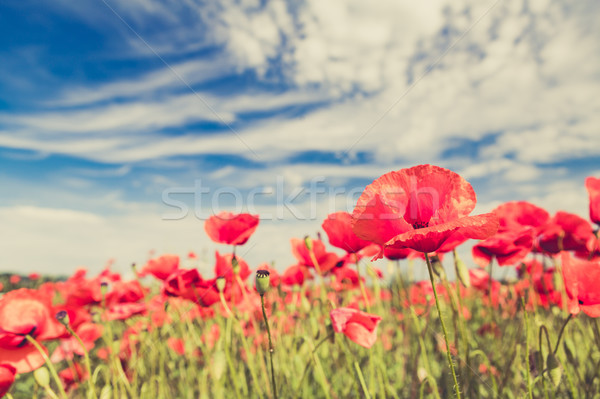 Poppy flowers retro vintage summer background Stock photo © blasbike