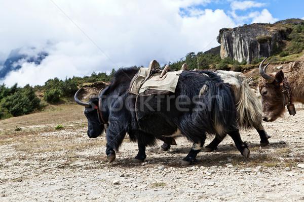 çiftlik himalayalar Nepal inek seyahat dağlar Stok fotoğraf © blasbike