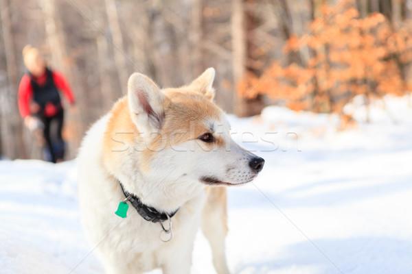 Woman hiking in winter forest with akita dog. Stock photo © blasbike
