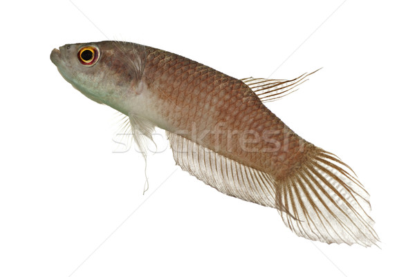 Adult Male Betta enisae in Off Breeding Colors Stock photo © blinztree