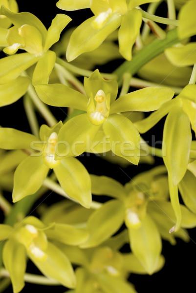Yalıtılmış siyah tropikal sarı yaprakları flora Stok fotoğraf © blinztree