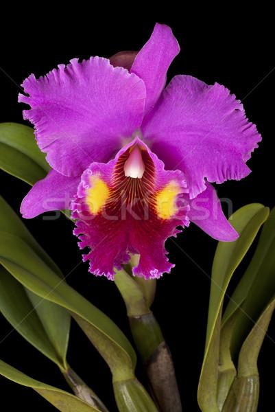 Yalıtılmış siyah çiçek bitki tropikal güzel Stok fotoğraf © blinztree