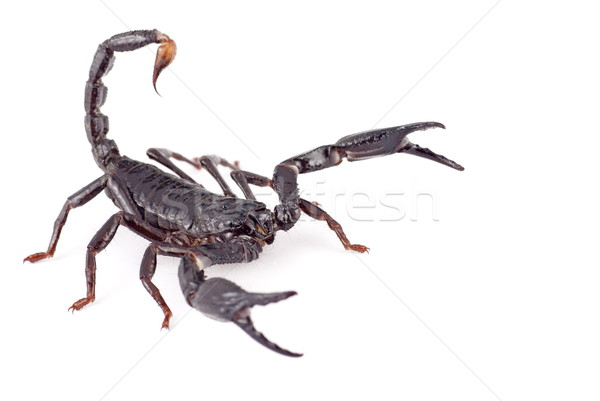 An Asian Forest Scorpion on White Background Stock photo © blinztree
