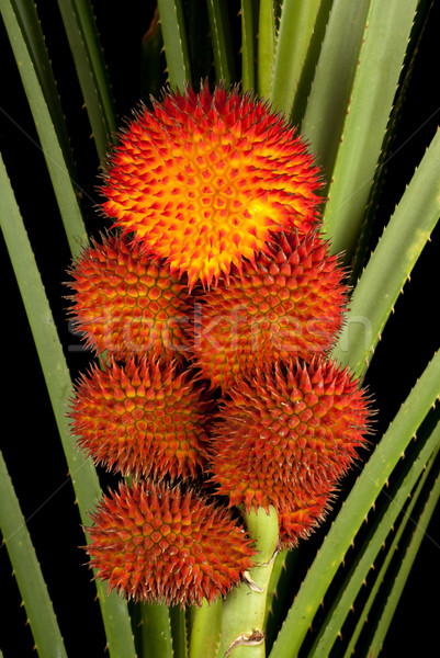 A Cluster of Fruiting Wild Pandanus Stock photo © blinztree