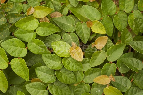 Creeping Fig - Ficus pumila Stock photo © blinztree