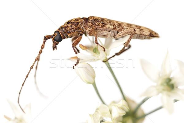 Long Horn Beetle (Cerambycidae sp ) on a Flowering Leek  Stock photo © blinztree