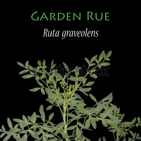 Ruta graveolens known as the Garden Rue Stock photo © blinztree
