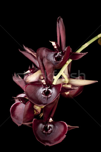 Kırmızı yalıtılmış siyah tropikal orkide güzel Stok fotoğraf © blinztree