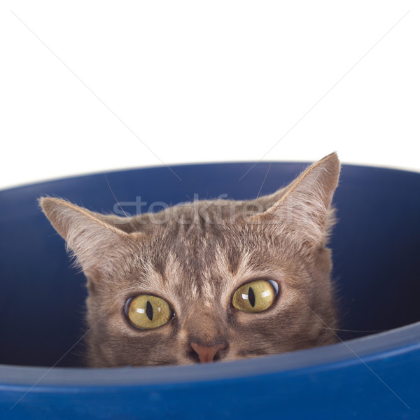 Tabby Cat with Crooked Nose in a Bucket Stock photo © blinztree