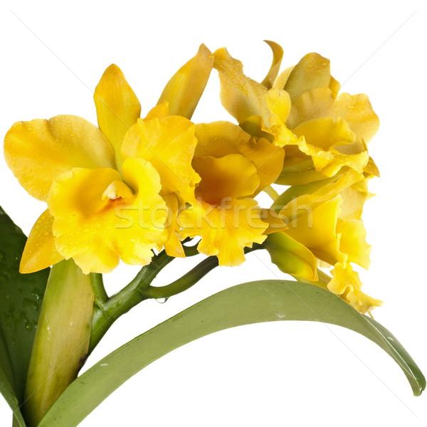Cattleya auera Stock photo © blinztree