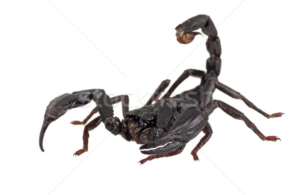 Asian Forest Scorpion also known as Heterometrus longimanus Stock photo © blinztree