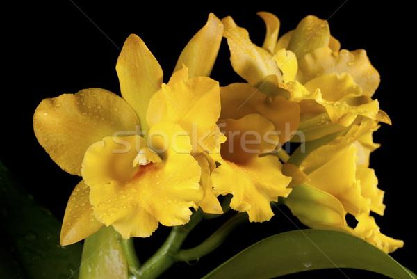 Yalıtılmış siyah çiçek tropikal güzel sprey Stok fotoğraf © blinztree