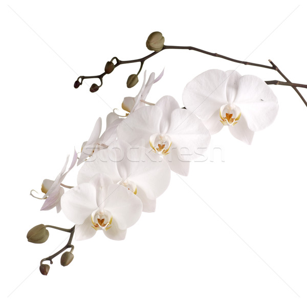 Pearly White Phalaenopsis Orchids Stock photo © blinztree