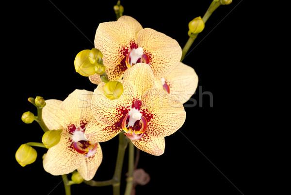 Royale Yellow Phalaenopsis Orchids Stock photo © blinztree