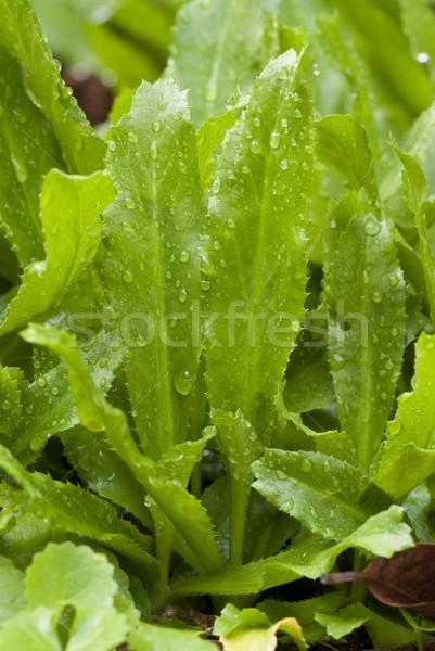 Kişniş taze bahçe otlar gıda yeşil Stok fotoğraf © blinztree