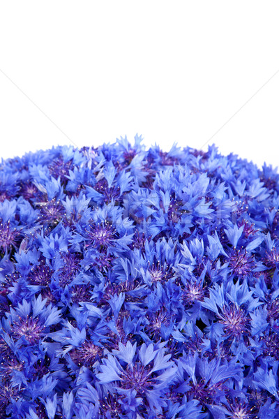 Stock photo: Beautiful spring flowers blue cornflower on background