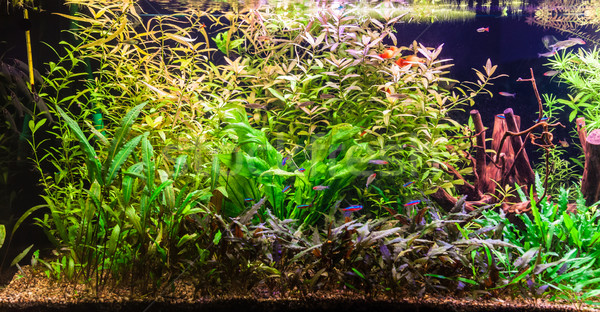 D'acqua dolce acquario verde bella tropicali Foto d'archivio © bloodua