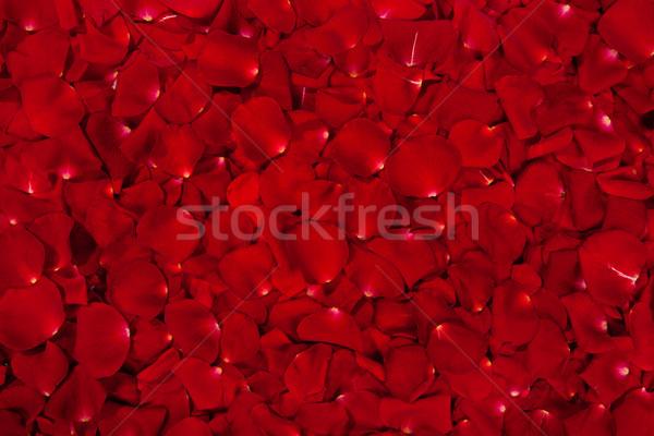 赤いバラ 花弁 美しい 花 テクスチャ 庭園 ストックフォト © bloodua