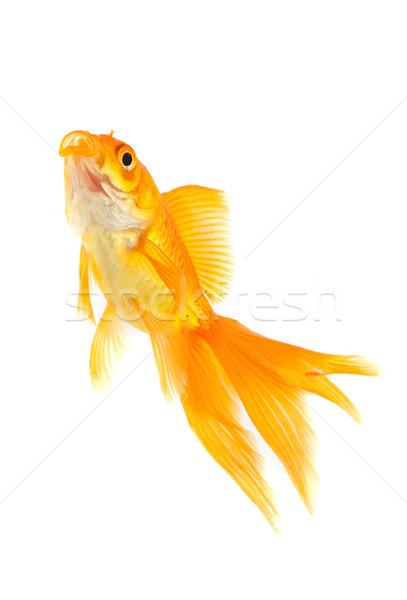 金魚 金 魚 孤立した 白 自然 ストックフォト © bloodua