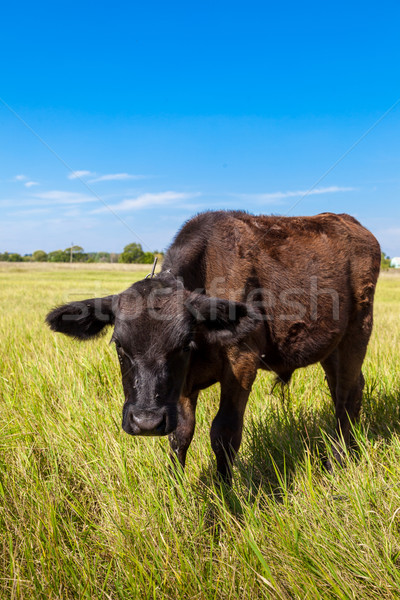 calf Stock photo © bloodua