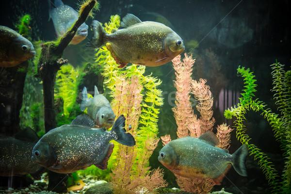 Tropischen Piranha Fische Süßwasser- Aquarium Fisch Stock foto © bloodua
