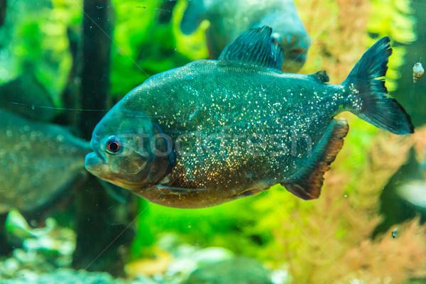 тропические пиранья пресноводный аквариум рыбы Сток-фото © bloodua